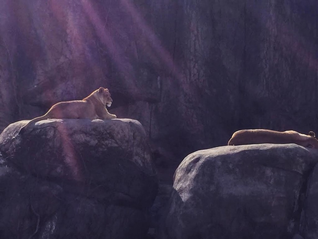 Lincoln Park Zoo Lions